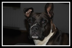 Djina, chien American Staffordshire Terrier