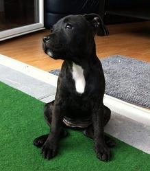 Djina, chien Staffordshire Bull Terrier