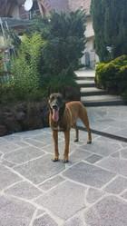 Djinko, chien Berger belge
