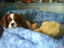 Djinn, chien Cavalier King Charles Spaniel
