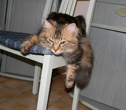 Djinny, chat Maine Coon