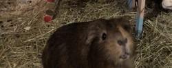 Djo, rongeur Cochon d'Inde
