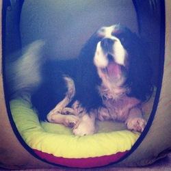 Djoey, chien Cavalier King Charles Spaniel