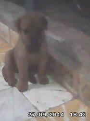 Djon, chien Rottweiler