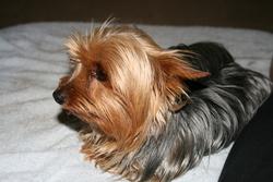 Djoy, chien Yorkshire Terrier