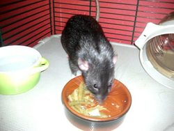 Djumbo, rongeur Rat