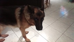Djump, chien Berger allemand