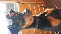 Dobby, chien Pinscher