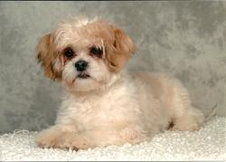 Dobby, chien Lhassa Apso