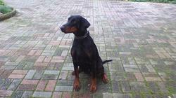 Dobergaarden Forever Kiti, chien Dobermann