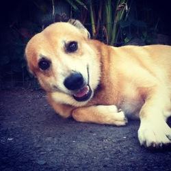 Dobi, chien