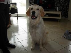 Dobi, chien Golden Retriever