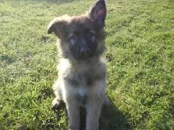 Doby, chien Berger belge