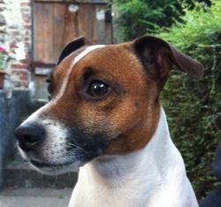 Doby, chien Jack Russell Terrier
