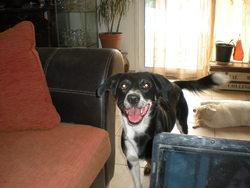 Doc, chien Border Collie