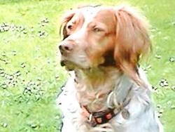 Doc Nestor, chien Épagneul breton