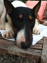 Dock, chien Bull Terrier