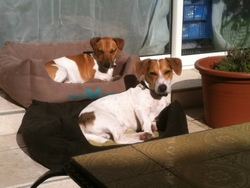 Docky , chien Jack Russell Terrier