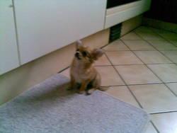 Dodie, chien Chihuahua