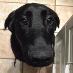 Doggy, chien Labrador Retriever