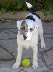Doggy, chien Parson Russell Terrier