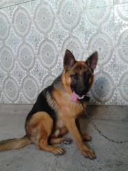 Dogy, chien Berger allemand