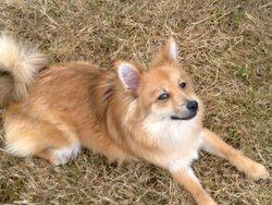 Dolce, chien Spitz allemand
