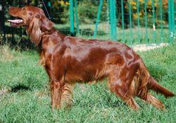 Dolcé Du Bois D'Acacias, chien Setter irlandais