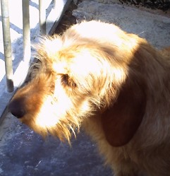 Dolfy De La Font De L'Arca, chien Basset fauve de Bretagne
