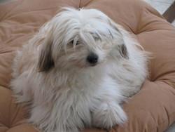 Dolie, chien Berger des Pyrénées