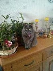 Dolie, chat Chartreux