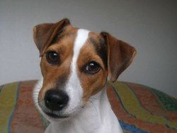 Doline, chien Jack Russell Terrier