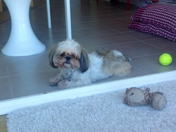 Dolly, chien Shih Tzu