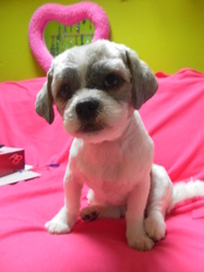 Dolly, chien Lhassa Apso