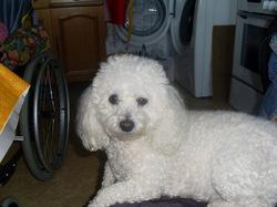 Dolly, chien Bichon à poil frisé