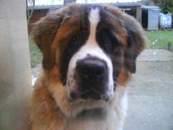 Dolly, chien Saint-Bernard