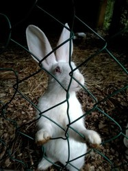 Dolly, rongeur Lapin