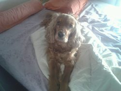 Dolly, chien Cocker anglais