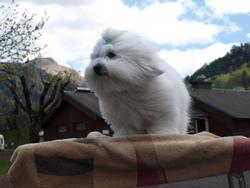Dolly, chien Coton de Tuléar