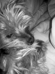 Dolly, chien Yorkshire Terrier
