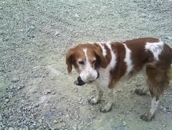 Dolly, chien Épagneul breton