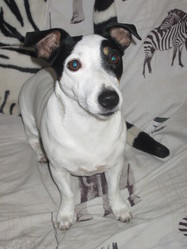 Dolly, chien Jack Russell Terrier