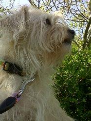 Dollye, chien Bichon havanais