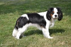 Dolma , chien Cavalier King Charles Spaniel