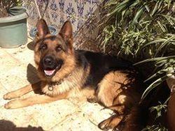Dolv, chien Berger allemand
