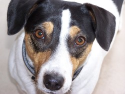 Doly, chien Jack Russell Terrier