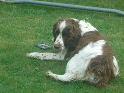 Doly, chien Springer anglais