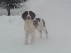 Doly Des îles, chien Springer anglais