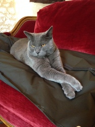 Dom Tamino, chat Chartreux