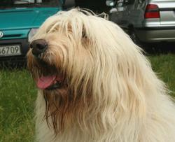 Domino, chien Berger de Russie